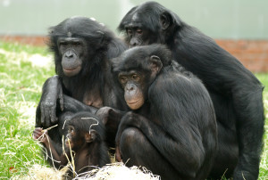 Drie aapjes hebben een kindje - pic twycrosszoo.org