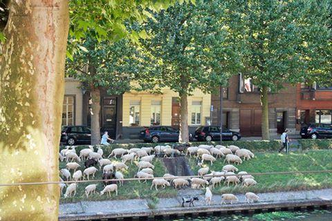 Schapen langs de Coupure - pic Christel Roelandt